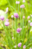 Chives in bloom. Purple chive flowers in the garden Stock Image