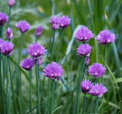 Chives In Bloom Stock Photography