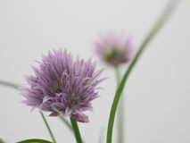 Chives in bloom. On a white background isolated Royalty Free Stock Photography