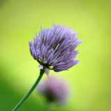 Chives Blooming. Fresh chives, blooming in the garden Royalty Free Stock Images