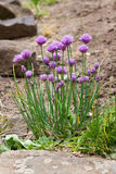 Chives Blooms Stock Image