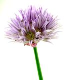 Chives blossom Stock Images