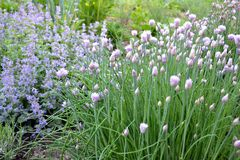 Spring cottage garden. Chives blossoming in a cottage garden stock image