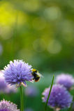Chives with bumblebee. Blooming chives in the garden. A bumblebee comes along for pollination Stock Photography