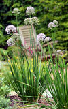 Chives, chive Royalty Free Stock Image