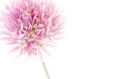 Chives with copyspace. Chive flower isolated on white with copyspace to the right Stock Photography