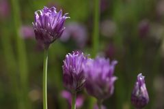 Chives with a couple of blossoms in a garden Allium schoenoprasum. Chives with a couple of blossoms in a garden stock photography