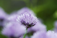 Chives decorative flowers Stock Photo