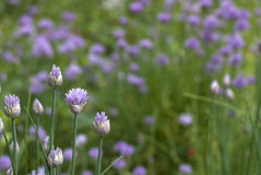 Chives detail. Allium schoenoprasum or chives  plant bloom in spring garden Stock Image