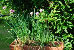 Chives in flower Stock Images
