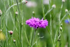 Chives, Flower, Grass, Plant stock photography