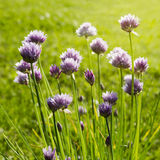 Chives with flower and sun rays Royalty Free Stock Images