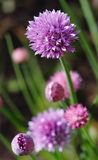 Chives flowering Stock Photo