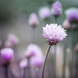 Chives flowering. Purple flowers of chives flowering in garden, square format royalty free stock image