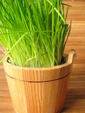 Chives in flowerpot Stock Image