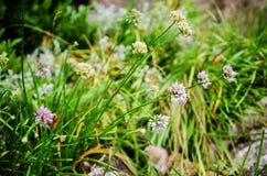 Chives flowers (Allium Schoenoprasum) Royalty Free Stock Photo
