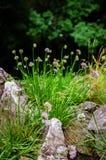 Chives flowers (Allium Schoenoprasum) Royalty Free Stock Photography