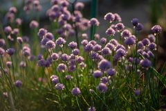 Chives with flowers captured in nature towards sunset with contrast and small shallow of depth stock photo