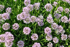 Chives flowers Royalty Free Stock Photos