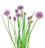 Chives flowers royalty free stock photography