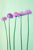 Chives with flowers on light  vintage  background Royalty Free Stock Image
