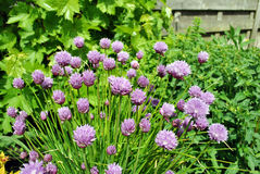 Chives flowers Stock Photography