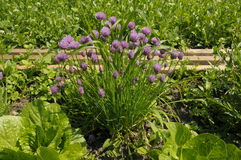Chives in garden patch Stock Image