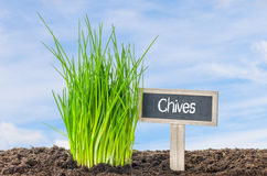 Chives in the garden Stock Photography