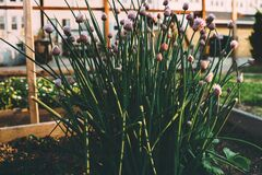 Chives growing in garden Royalty Free Stock Photo