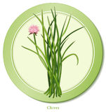 Chives Herb. Chives, a perennial herb with rose-violet flowers, grown for its long, slender, hollow leaves with a mild onion flavor; used for seasoning soups Stock Image