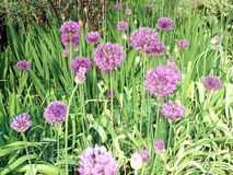 Chives . Herb Stock Images