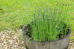 Chives. The herb chives home grown in a barrel Stock Photo