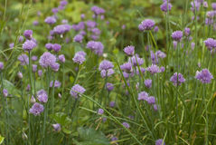 Chives horizont. Allium schoenoprasum or chives  plant bloom in spring garden Royalty Free Stock Image