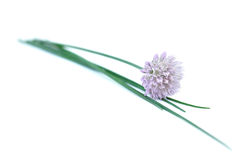 Chives, Isolated on White Stock Photos