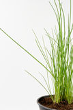 Chives kitchen herb in a pot  on white background Stock Photography