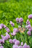Chives and orange butterfly in the garden. Close up of the flowers of some Chives and orange butterfly in the garden. Allium schoenoprasum stock photography