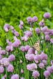 Chives and orange butterfly in the garden. Close up of the flowers of some Chives and orange butterfly in the garden. Allium schoenoprasum royalty free stock photo