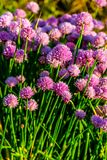 Chives plant Royalty Free Stock Images