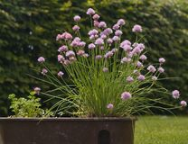 Chives plant in the flower box in the garden. Green big and strong chives bush with the pink blossoms. Royalty Free Stock Image