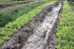 Chives plantation. The Inline of chives plantations Stock Photo