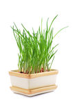 Chives in pot isolated Royalty Free Stock Photography