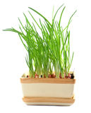 Chives in pot isolated Royalty Free Stock Image
