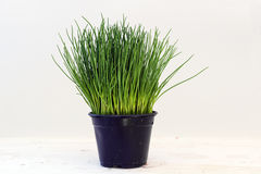Chives, potted plant against a light gray background with copy s. Pace, kitchen herbs for fresh and healthy cooking Stock Photography