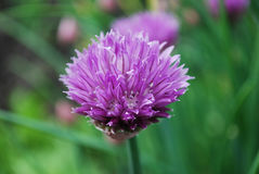 Chives. Sharp seasoning from a flowering bow Royalty Free Stock Photos