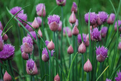 Chives. Sharp seasoning from a flowering bow Stock Photography