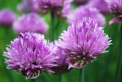 Chives. Sharp seasoning from a flowering bow Stock Photos
