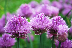 Chives. Sharp seasoning from a flowering bow Royalty Free Stock Image