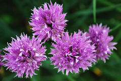 Chives. Sharp seasoning from a flowering bow Stock Photo