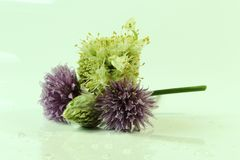 A chives and some onion on the picture with green colour. As background royalty free stock image