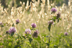 Chives and Wheat Fields Royalty Free Stock Photography